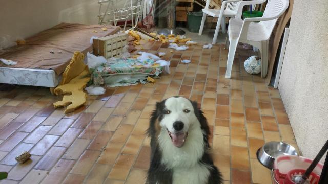 Bétises au jour le jour de nos chiens :-( - Page 26 20130911