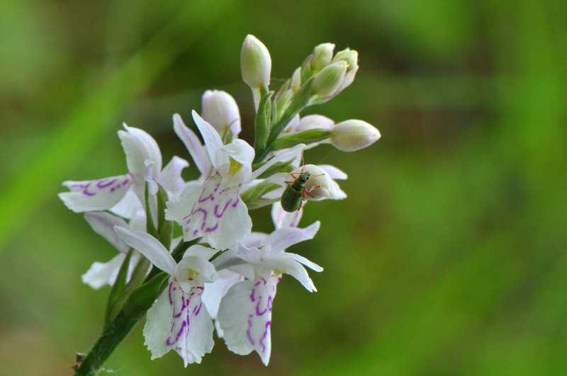 Datylorhiza maculata  Dactyl11