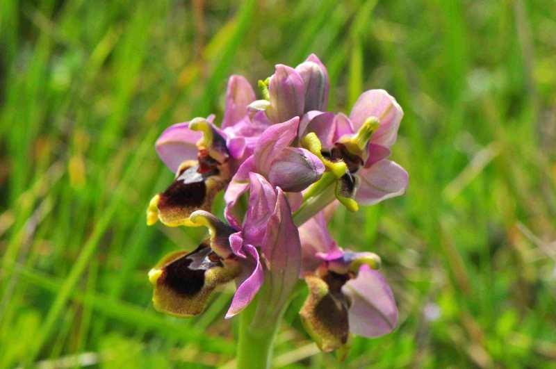 Ophrys tenthredinifera Ophrys12