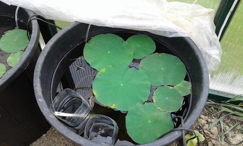 Germination des graine de lotus (nelumbo) 20170542