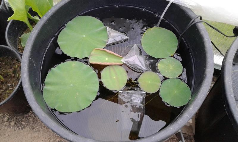 Germination des graine de lotus (nelumbo) 20170543
