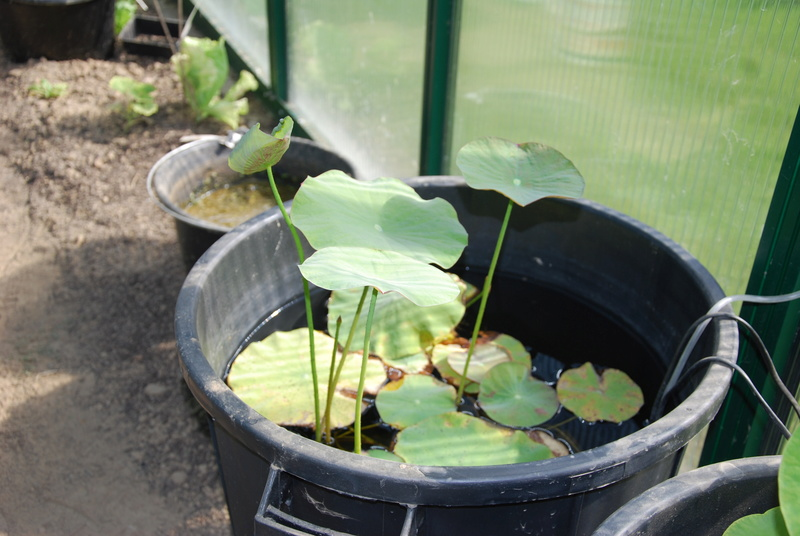 Germination des graine de lotus (nelumbo) Dsc_0625