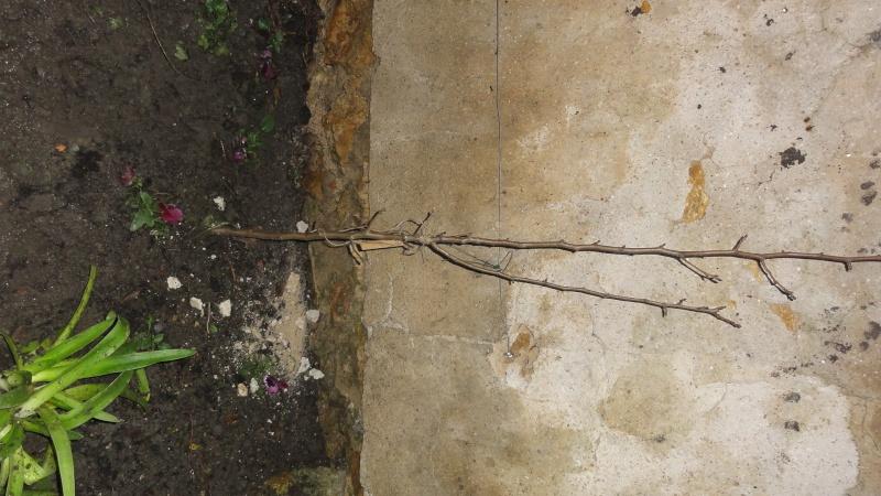 Branche Cassée sur un poirier Dsc04919