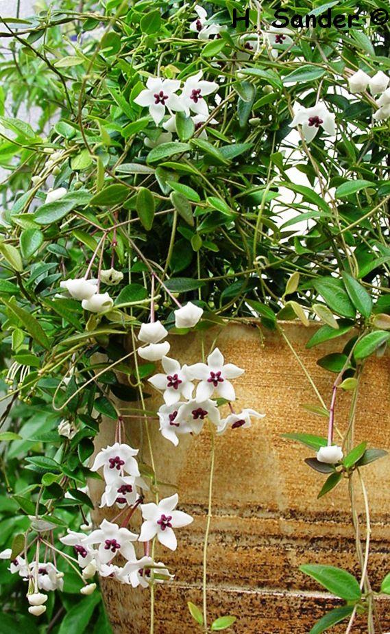 Hoya microphylla Hoya_m10