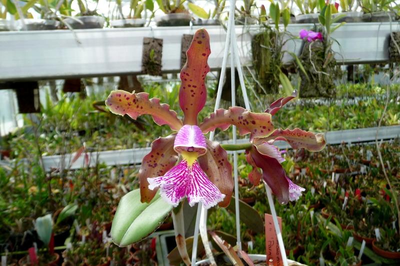 Cattleya schilleriana  - Seite 13 C_schi12