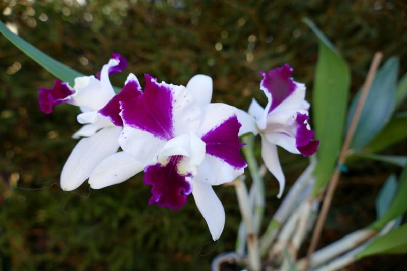 Lc. Purple Cascade       P1000110