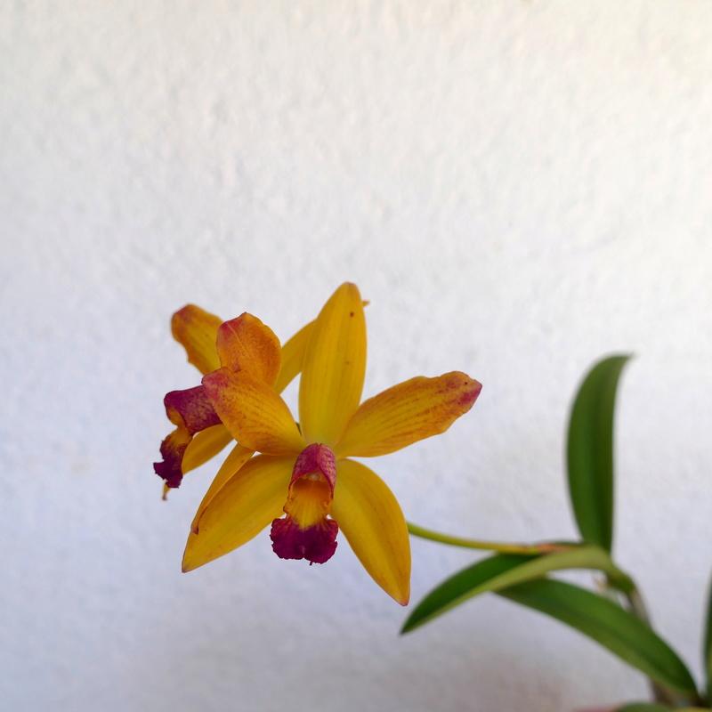 Laelia briegeri x Cattleya aclandiae P1000610