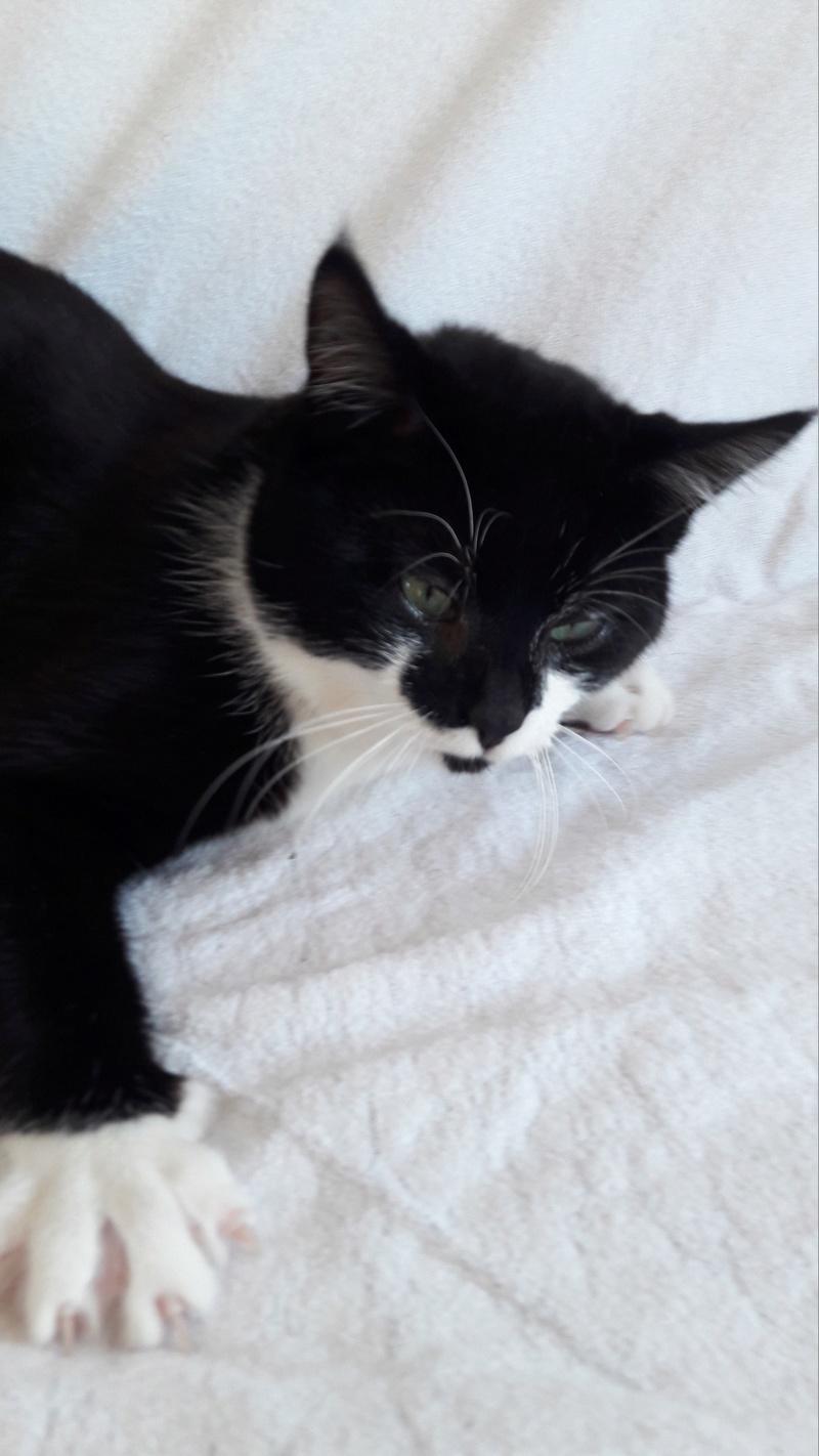 Merlin, mâle type européen noir et blanc estimé septembre 2015 20170222