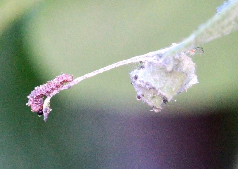 Limenitis reducta ce matin Limeni13