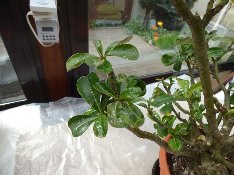 Rose du Désert P3390010