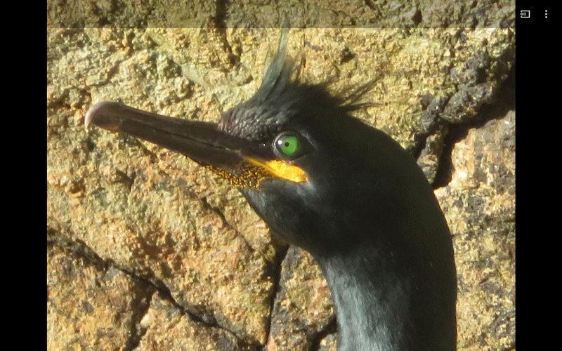 Drôles d'oiseaux Cormor10