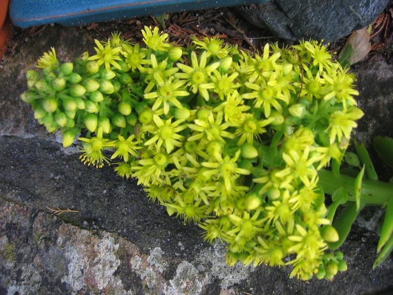 Aeonium bientôt en fleurs.... et maintenant décapité !!! Img_2612