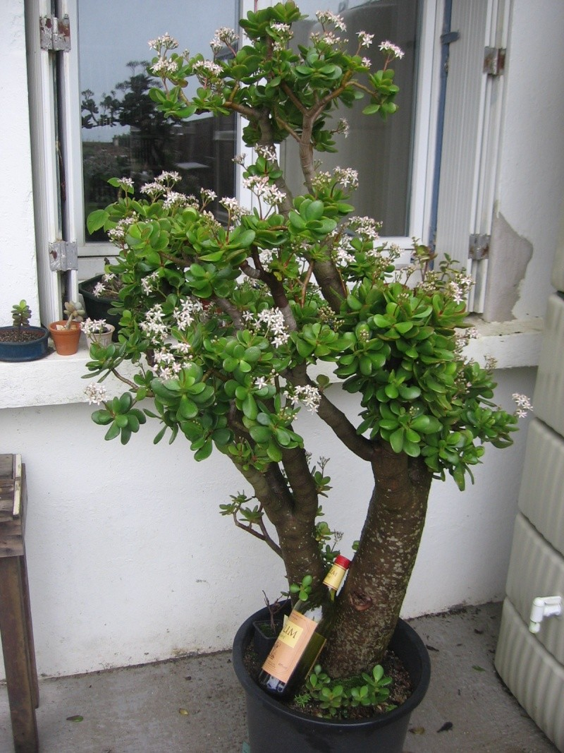 la vénérable crassula est en fleur Img_2613