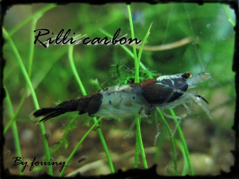 Recueil de photo aquariophiles de qualités Rilli_10