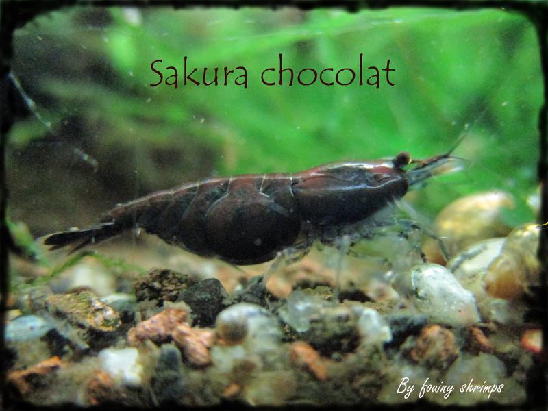 Recueil de photo aquariophiles de qualités Sakura10