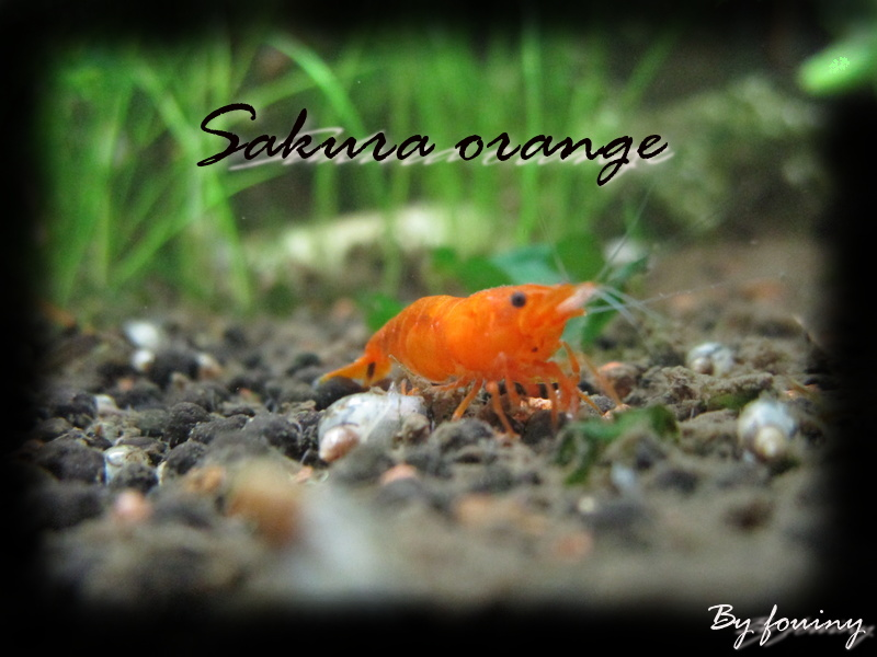 Recueil de photo aquariophiles de qualités Sakura11