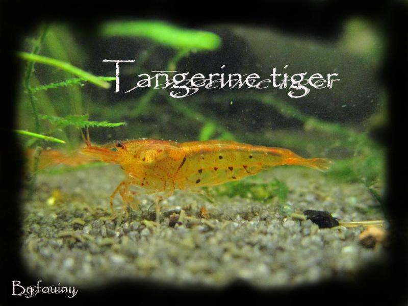 Recueil de photo aquariophiles de qualités Tanger10