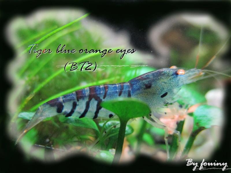 Recueil de photo aquariophiles de qualités Tiger_10