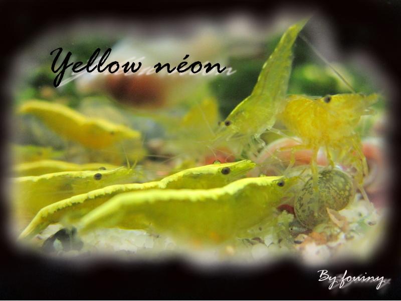 Les différentes souches de Neocaridinas Yellow10