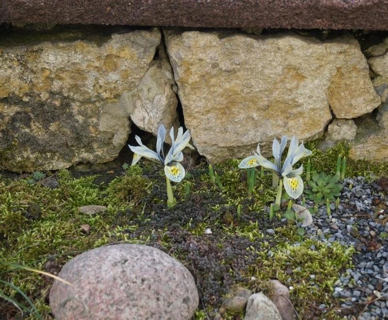 Schwertliliengewächse: Iris, Tigrida, Ixia, Sparaxis, Crocus, Freesia, Montbretie u.v.m. - Seite 15 Dsc01210