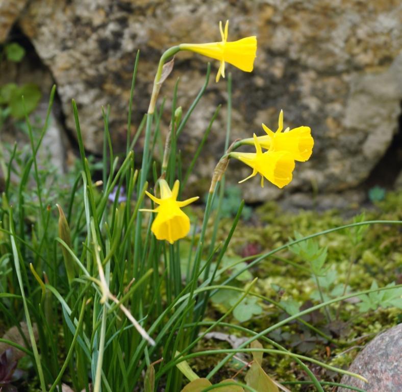 Hang- und Steingartenpflanzen - Seite 26 Narcis10