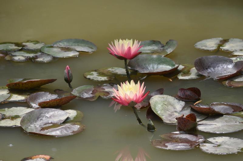 Aquatiques du Jardin des Martels Dsc_0145