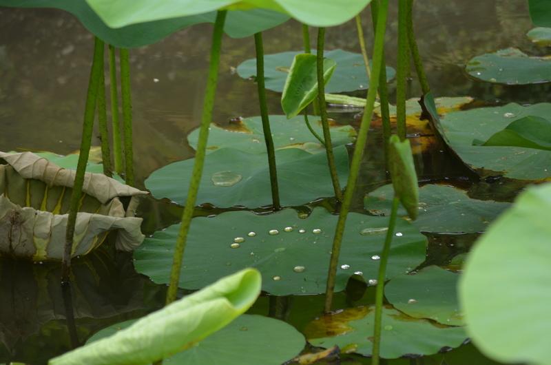 Aquatiques du Jardin des Martels Dsc_0149