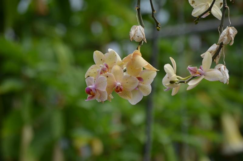 Les orchidées du Jardin des Martels Dsc_0152