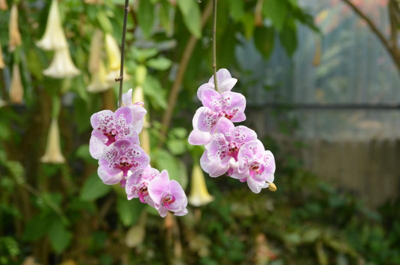 Les orchidées du Jardin des Martels Dsc_0153