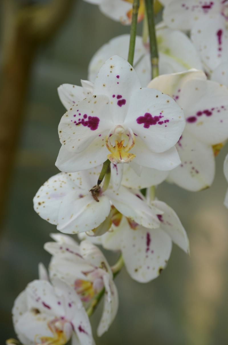 Les orchidées du Jardin des Martels Dsc_0154