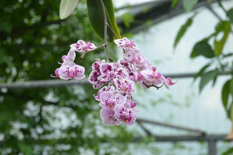Les orchidées du Jardin des Martels Dsc_0155