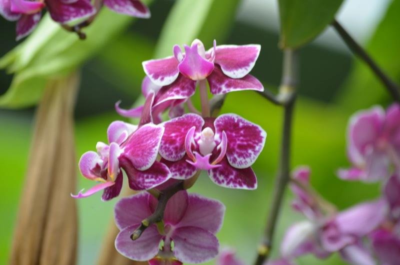 Les orchidées du Jardin des Martels Dsc_0156