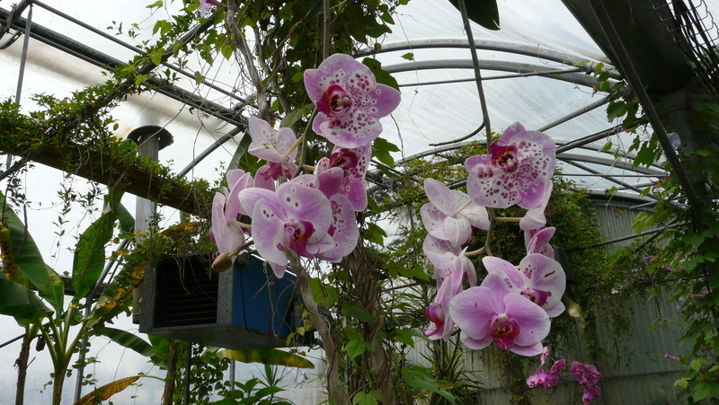 Les orchidées du Jardin des Martels P1140320