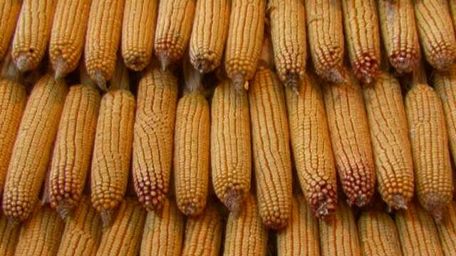 ZP Institut za kukuruz 14514610