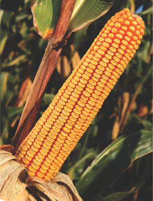 ZP Institut za kukuruz Zp-60610