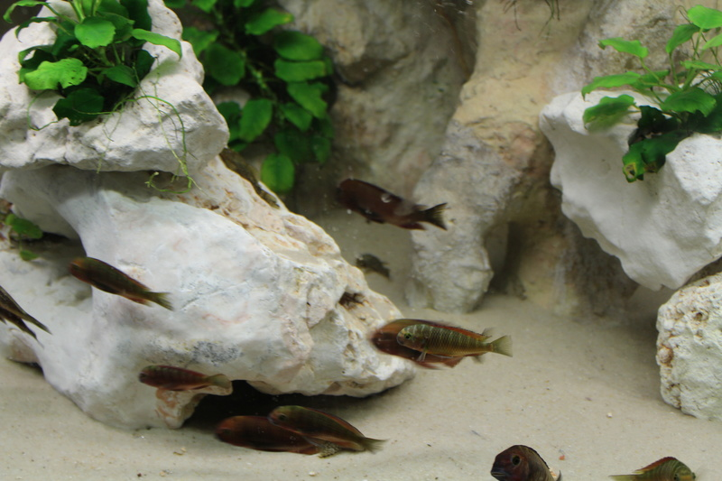 """Tropheus sp. """"red"""" Chimba Img_0111"""