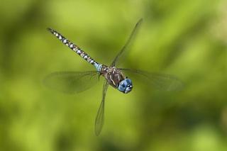 Le monde merveilleux des insectes - Page 2 Dragon13