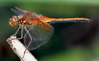 Le monde merveilleux des insectes - Page 2 Dragon14