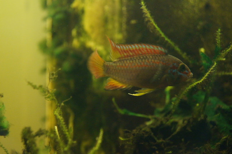apistogramma papagei f1 Dsc05818