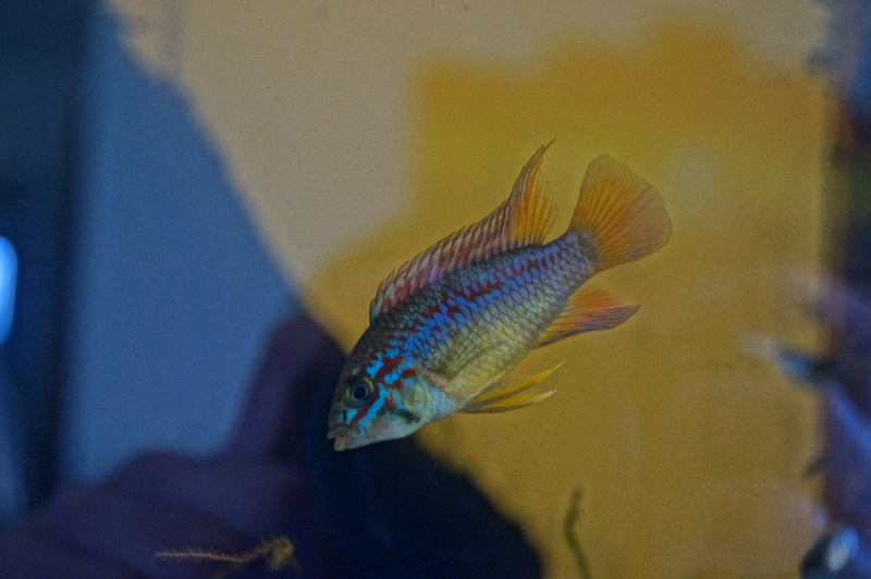apistogramma papagei f1 Dsc05819