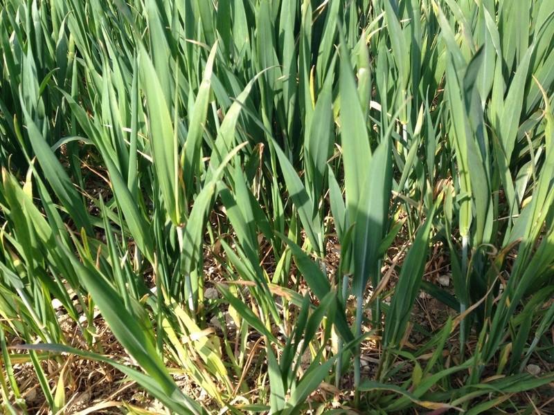 suivi des blés tendre 2017 - Page 3 Img_2912
