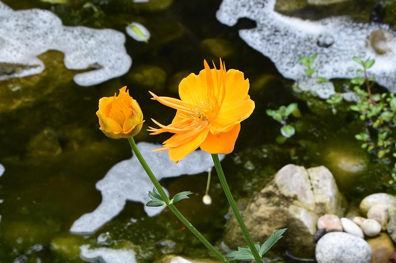 Bassin et cascade - Page 4 Fleur_13