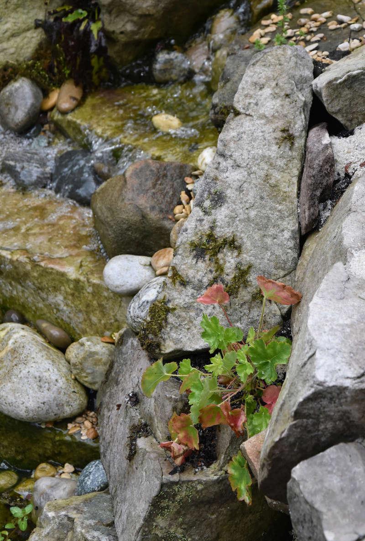 Bassin et cascade - Page 4 Heuche10