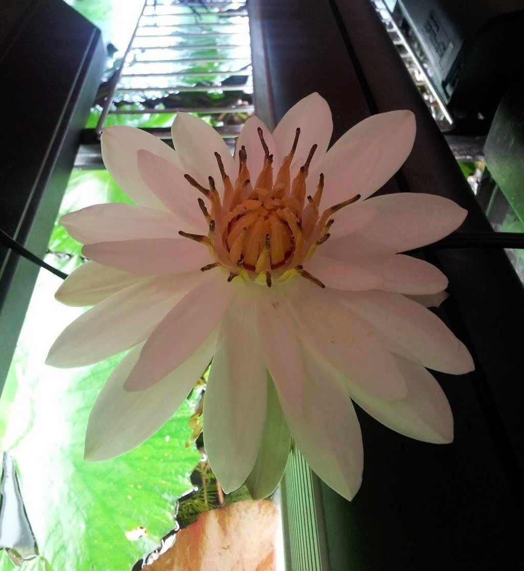 lotus red tiger : comment le faire fleurir ? Maxres10
