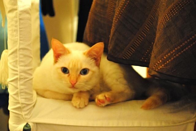 Mélodie, femelle type européenne blanche crème rousse née le 10/07/2016 - Page 4 Dsc_0012