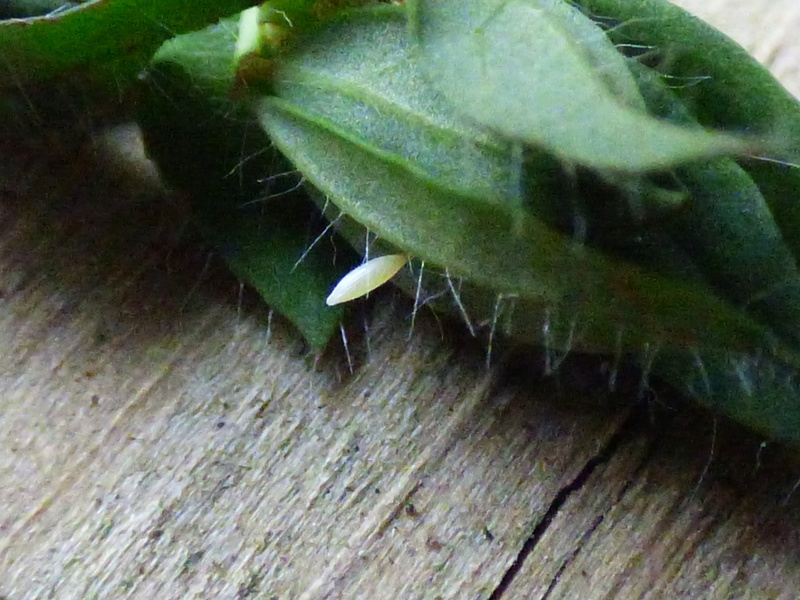 [Souci (Colias crocea)] Souci or not Souci Colias10