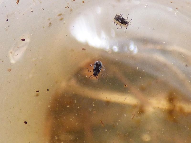 [Naucoris maculatus_Microvelia sp.] Naucoris maculatus et Microvelia Microv10