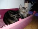 IPSOS, chat type européen, né vers le 15/04/13 en don libre 20140210