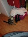IPSOS, chat type européen, né vers le 15/04/13 en don libre 20140213