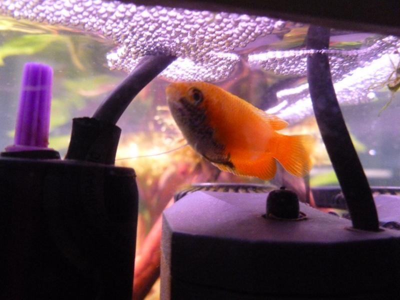 Mon premier aquarium 54L, type amazonien P1030914